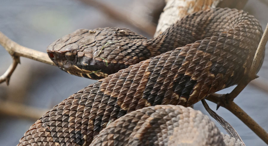 Northern Cottonmouth (juvenile)