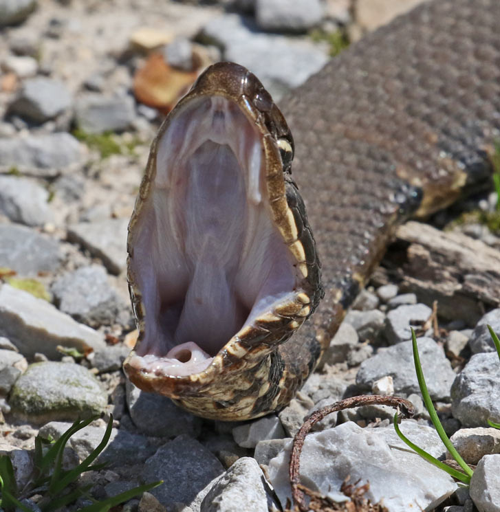 Northern Cottonmouth (adult)