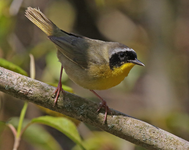 Common Yellowthroat photo 1