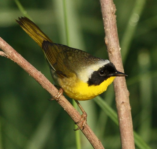 Common Yellowthroat photo 4