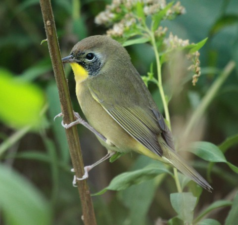 Common Yellowthroat (Eastern 1st fall male) photo 1