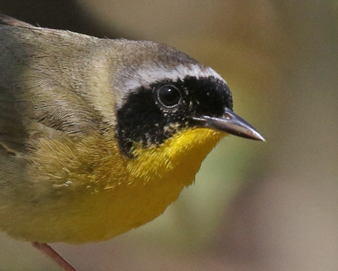 Common Yellowthroat photo 2