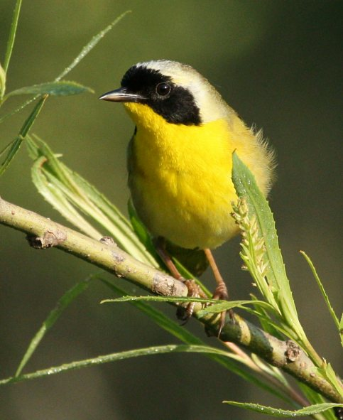 Common Yellowthroat photo 3