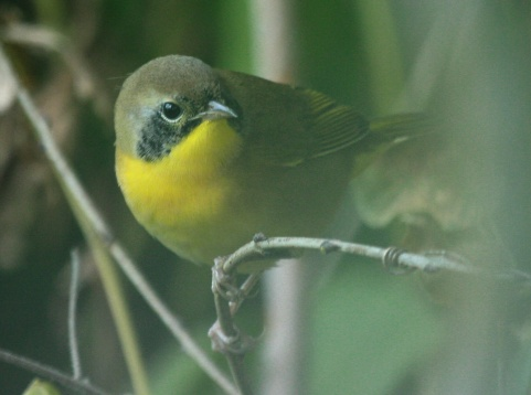 Common Yellowthroat (Eastern 1st fall male) photo 2