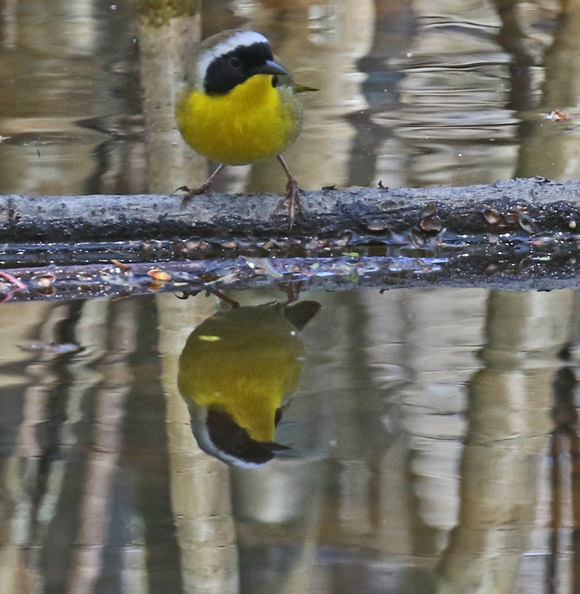 Common Yellowthroat photo 6