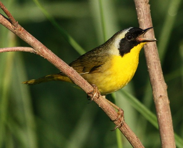 Common Yellowthroat photo 5