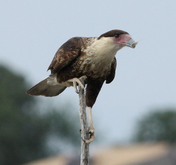 Crested Caracara Photo #1