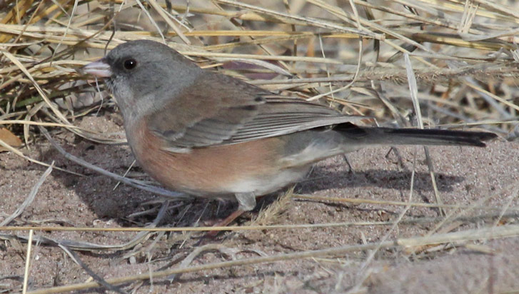 Dark-eyed Junco (pink-sided form)