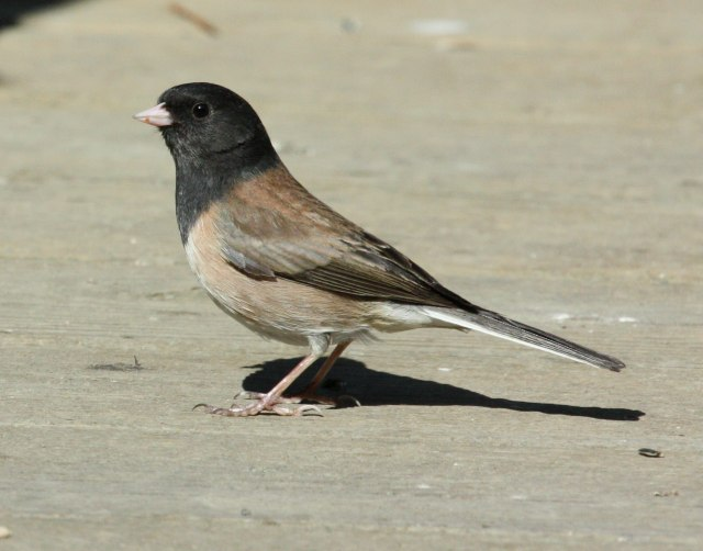 Dark-eyed Junco (