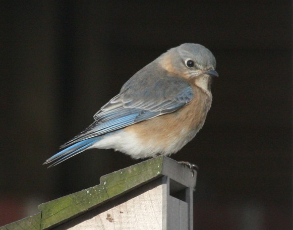 Eastern Bluebird photo #1