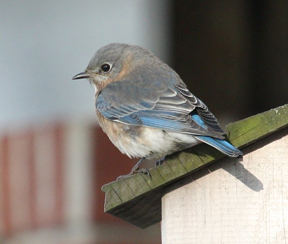 Eastern Bluebird photo #2
