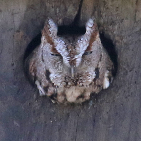 Eastern Screech-owl (brown morph)