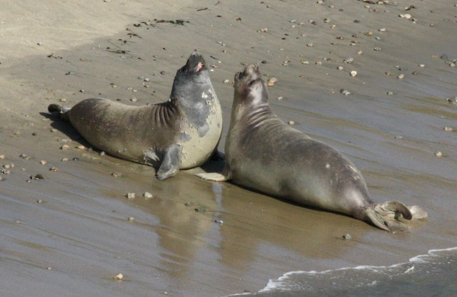 Northern Elephant Seal photo 2