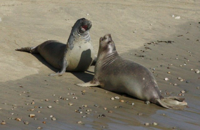 Northern Elephant Seal photo 1
