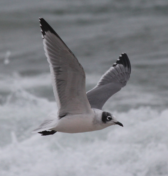 Franklin's Gull (nonbreeding adult in flight)