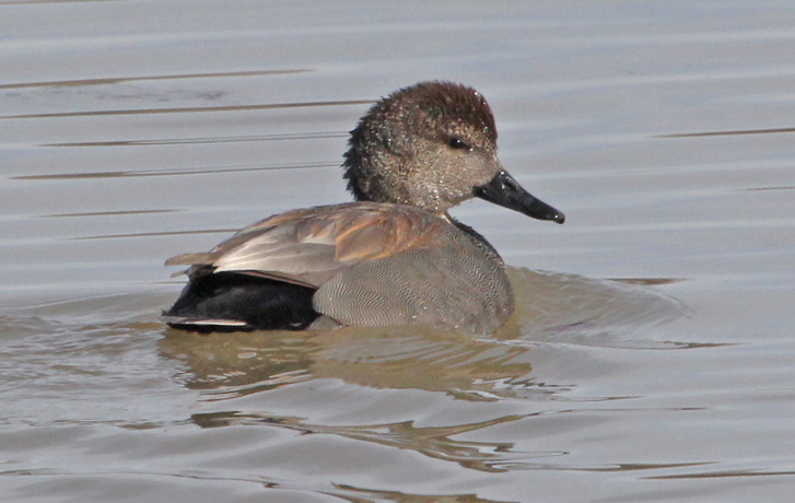 Gadwall Photo 1