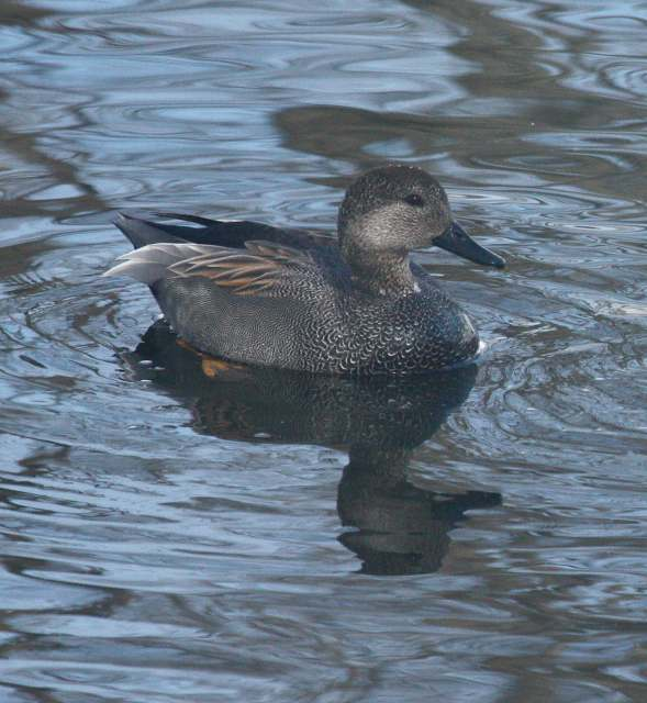 Gadwall Photo 2