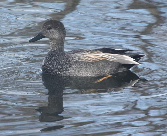 Gadwall Photo 3