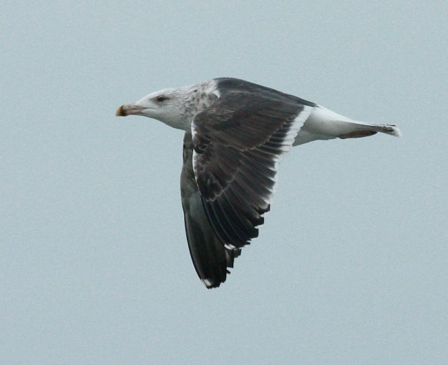 Great Black-backed Gull photo #2