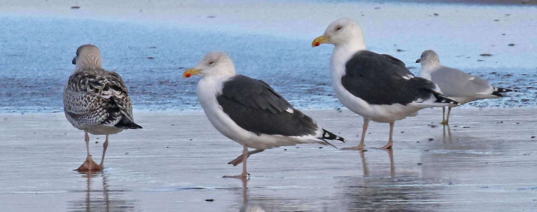 Great Black-backed Gull Photo 1