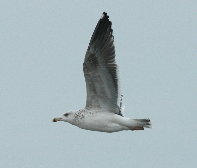 Great Black-backed Gull photo #3