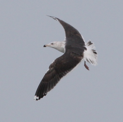 Great Black-backed Gull photo #5