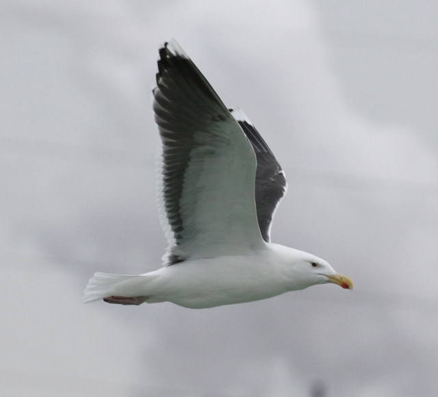 Great Black-backed Gull (adult in flight)