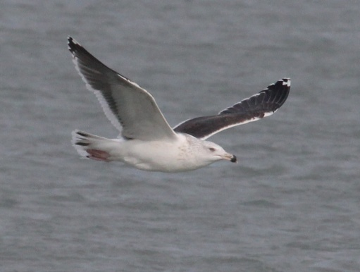 Great Black-backed Gull photo #6