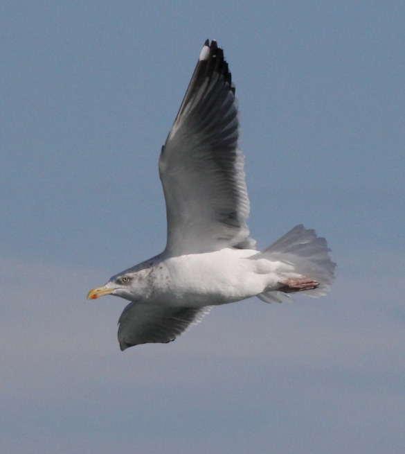 Probable Great Black-backed X Herring Gull hybrid (adult)