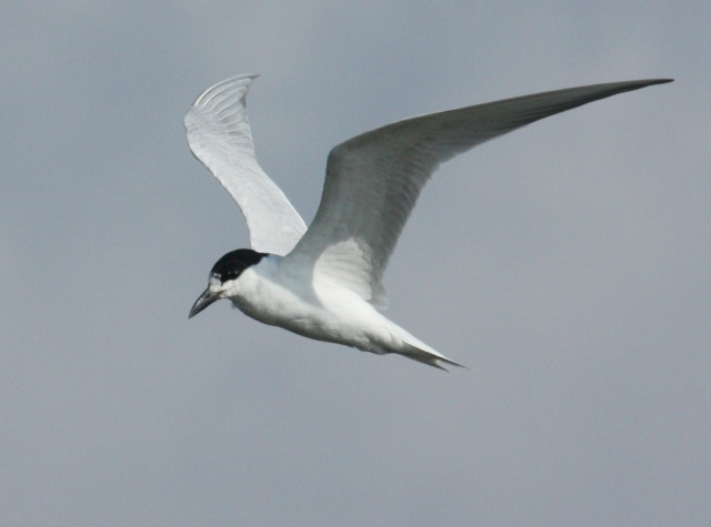 Gull-billed Tern photo #1