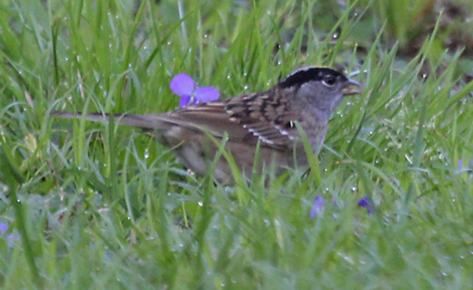 Golden-crowned Sparrow (adult)