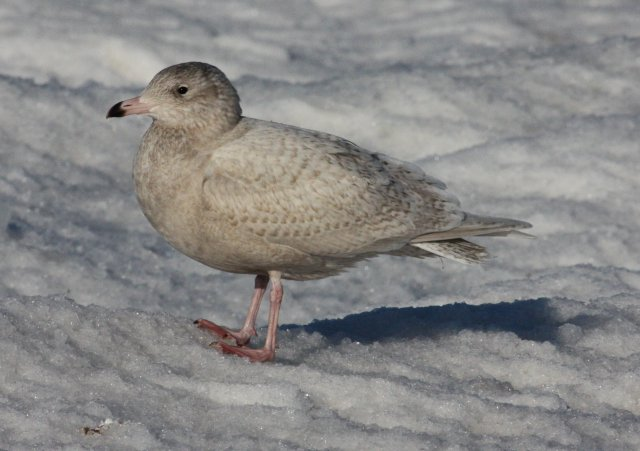 Glaucous Gull (first cycle) photo #3