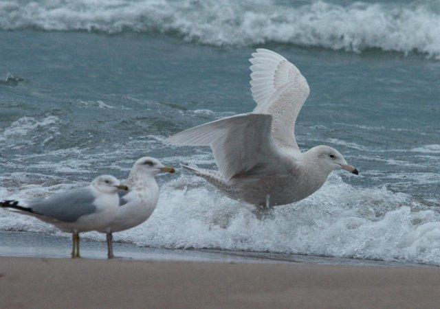 Glaucous Gull (first cycle) photo #7