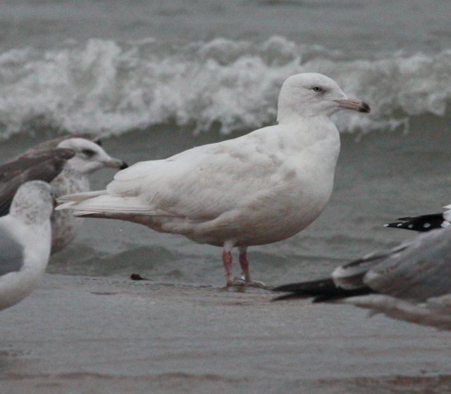 Glaucous Gull (2nd cycle)