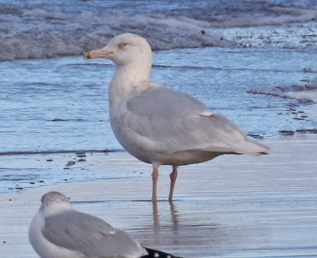 Glaucous Gull photo #3