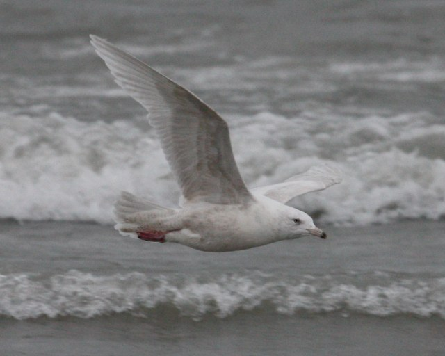 Glaucous Gull (2nd cycle in flight)