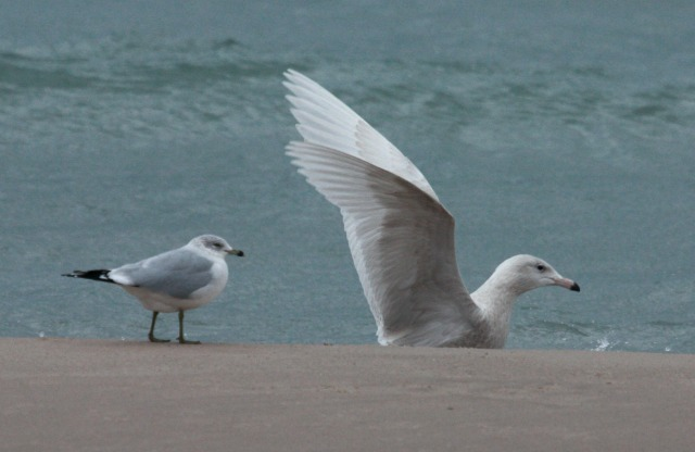 Glaucous Gull (first cycle) photo #8
