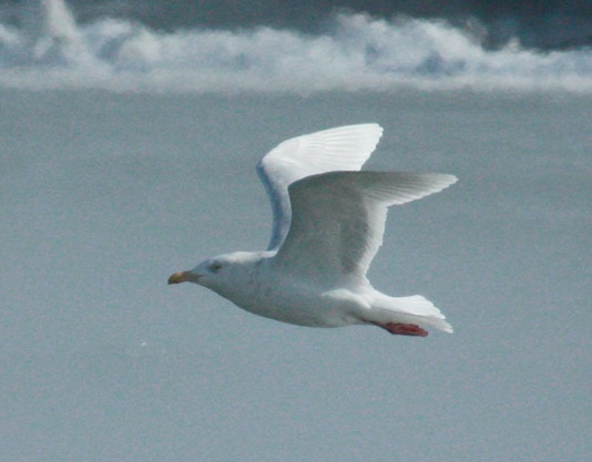 Glaucous Gull (adult)