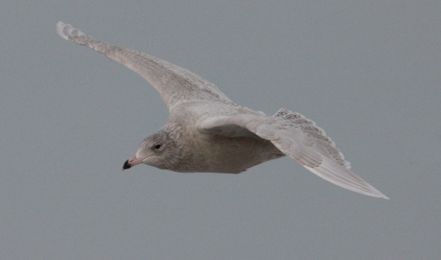 Glaucous Gull (first cycle in flight)