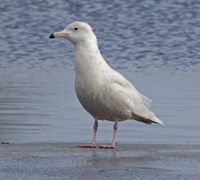 Glaucous Gull (first cycle) photo #1