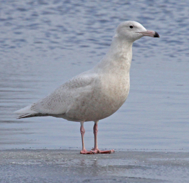 Glaucous Gull (first cycle) photo #2