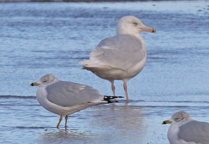 Glaucous Gull photo #2