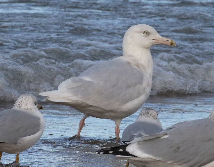 Glaucous Gull photo #1