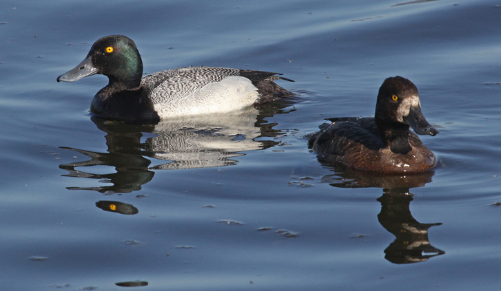 Greater Scaup Photo 2