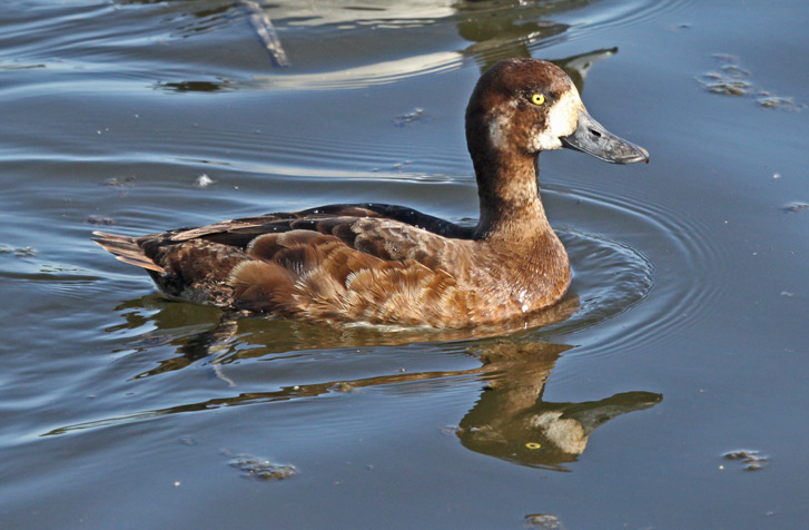 Greater Scaup Photo 3