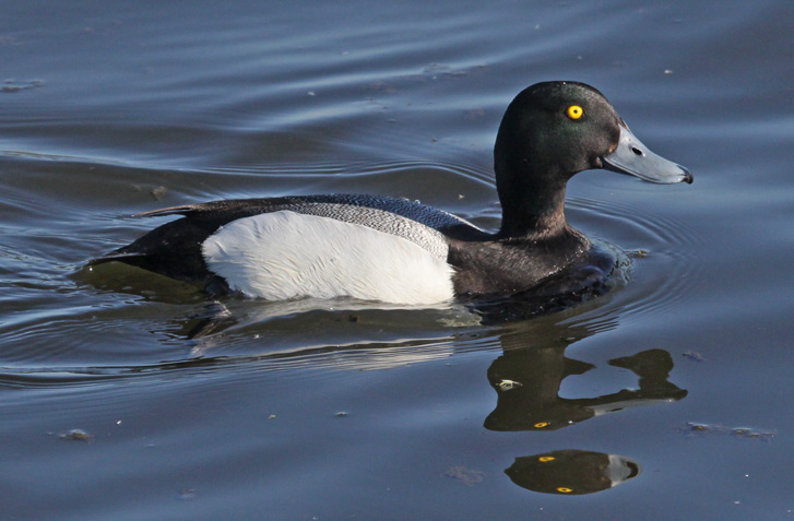 Greater Scaup Photo 4