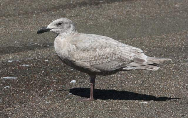 Glaucous-winged Gull (1st cycle) photo #3