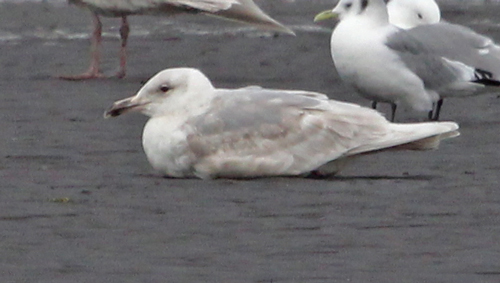 Glaucous-winged Gull (2nd cycle)