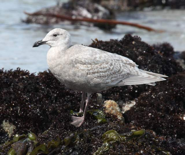 Glaucous-winged Gull (1st cycle) photo #1