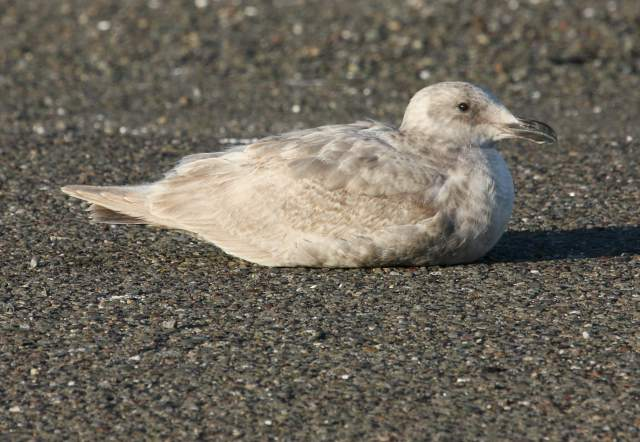 Glaucous-winged Gull (1st cycle) photo #2